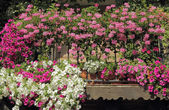 Colorful flowering plants on balcony, Spain, Europe — Stock Photo