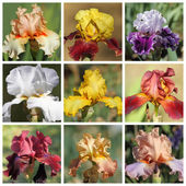 Multicolor bearded iris collection, images from Garden of Iris i — Stock Photo