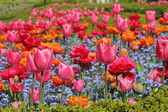 Flowerbed with colorful tulips and forget-me-not flowers — Stock Photo