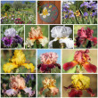 Collage made of images from  Garden of Iris ( Giardino dell'Iris — Stock Photo