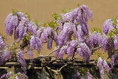 Flowering purple wisteria on wall in Tuscany, Italy — Stock Photo