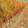 Multicolor autumnal vine plants row in  Tuscany, Italy, Europe — Stock Photo