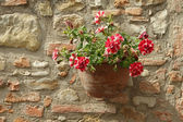 Red and white flowering petunia in terracotta pot on stonewall, — Stock Photo