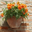 Orange pansies in ceramic pot on brick wall in Tuscany, Italy — Stock Photo #30554411