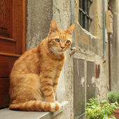 Ginger cat sitting in front of tuscan house, Italy — Stock Photo