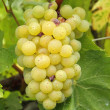 Closeup of ripe hanging bunch of white  wine grapes , region of — Stock Photo