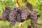 Close-up van rijp hangende trossen van rode wijn druiven, regio van c — Stockfoto
