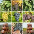 Bunch of grapes  and wine barrels — Stockfoto