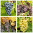 Ripe wine bunch grapes in vineyard — Stock Photo