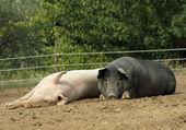 White and black pig — Stock Photo