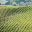 Vineyards pattern seen from hill — Stock Photo