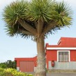 Stock Photo: Canary Islands dragon tree,