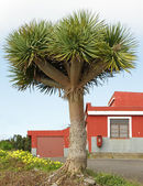 Canary Islands dragon tree, — Stock Photo