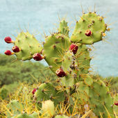 Opuntia stricta — Stock Photo