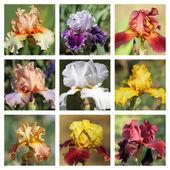 Multicolor bearded iris collection — Stock Photo