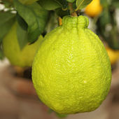 Citrus fruit from Medici collection — Stock Photo