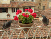Balcony with flowers and pigeons — Stock Photo