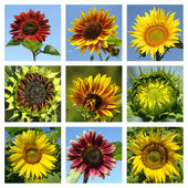 Colorful sunflowers collage — Stock Photo