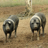 Very ancient tuscan breed of pig. — Stockfoto