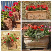 Geranium plants in terracotta pots — Стоковое фото