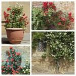 Roses garden, Tuscany — Stock Photo #49960807