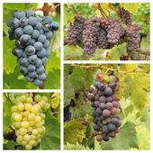 Grapes in vineyard — Stock Photo