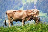 Doppio-mucca — Foto Stock