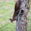 Tree squirrel — Stock Photo #21175709