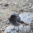 Little wagtail — Stock Photo #23290578