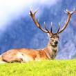 Proud deer buck — Stock Photo