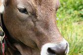 Cows on mountain trail — Stock Photo