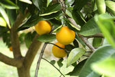 Ripe Oranges on the Tree in Florida — Stock Photo