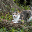 Stok fotoğraf: Calico Cat Scratching and Sharpening Her Claws