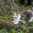Calico Cat Scratching and Sharpening Her Claws — стоковое фото #18181339