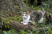 Calico Cat Scratching and Sharpening Her Claws — Стоковое фото