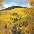Golden Aspen Trees Grove in Autumn, Fall - Stock Photo