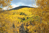 Golden Aspen Trees Grove in Autumn, Fall — Stock Photo