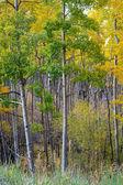 Arboleda de álamos dorados en otoño, otoño — Foto de Stock