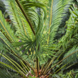King Sago Palm — Stock Photo