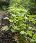 Cilantro Plant in the Garden also called Coriander and Chinese P — Stock Photo