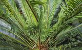 King Sago Palm — Stock Photo