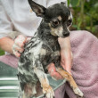 Foto Stock: Cute Obedient Little ChihuahuGets Bath and Shampoo