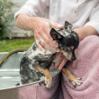 Shy Black and White Chihuahua Being Shampooed Outdoors — Stock Photo