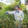 Man Spraying His Insect Infested Tomato Plants — Photo
