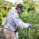 adam onun Böcek ilaçlama domates bitkiler enfekte — Stok fotoğraf