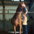 Stock Photo: WomBrushing Her Chestnut Gelding in Stables