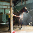Stock Photo: WomCooling Down Chestnut Horse in Barn