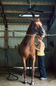 Woman Brushing Her Chestnut Gelding in the Stables — Stock Photo
