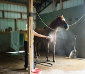 Woman Cooling Down Chestnut Horse in a Barn — Stock Photo