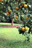 Satsuma or Tangerine Tree in Soft Outdoor Light — Stock Photo